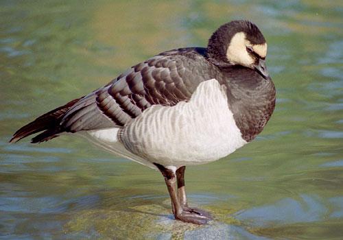 Scrabble 7: Les oiseaux de nos jardins et campagnes Bernache-nonnette