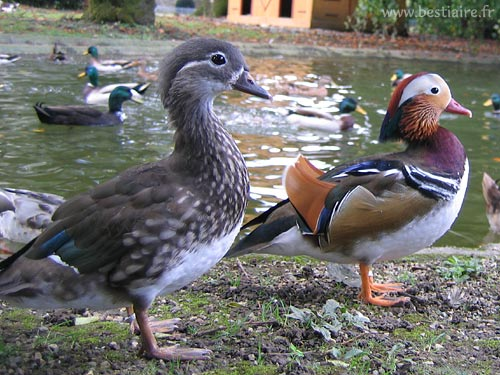 Canard mandarin photos animali res - Bassin canard d ornement pau ...